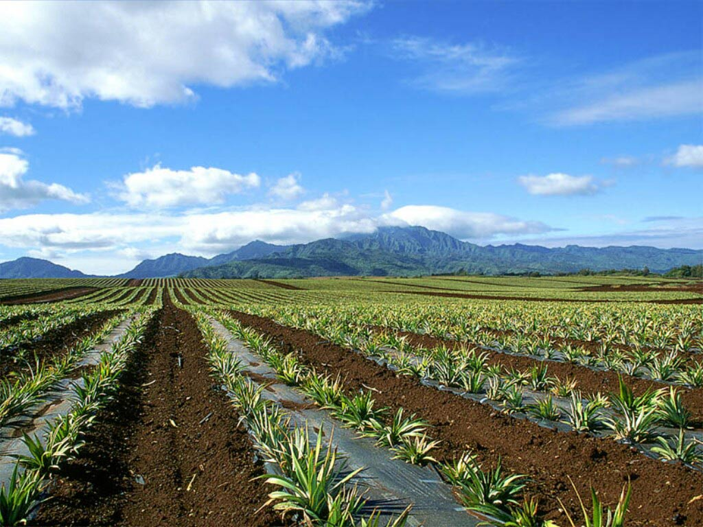 Pineapple_Field_Oahu